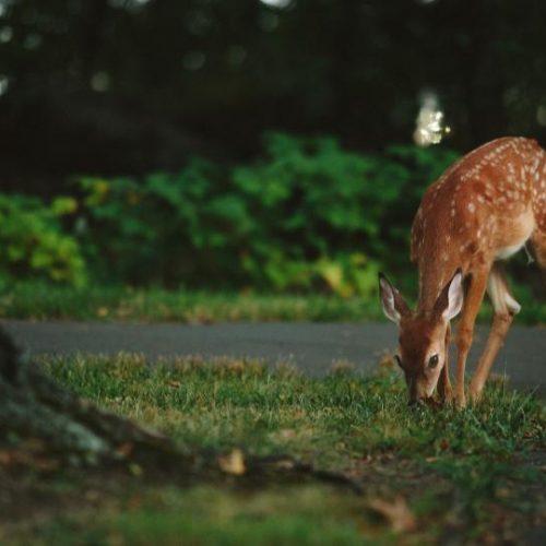 deer2 - Copy