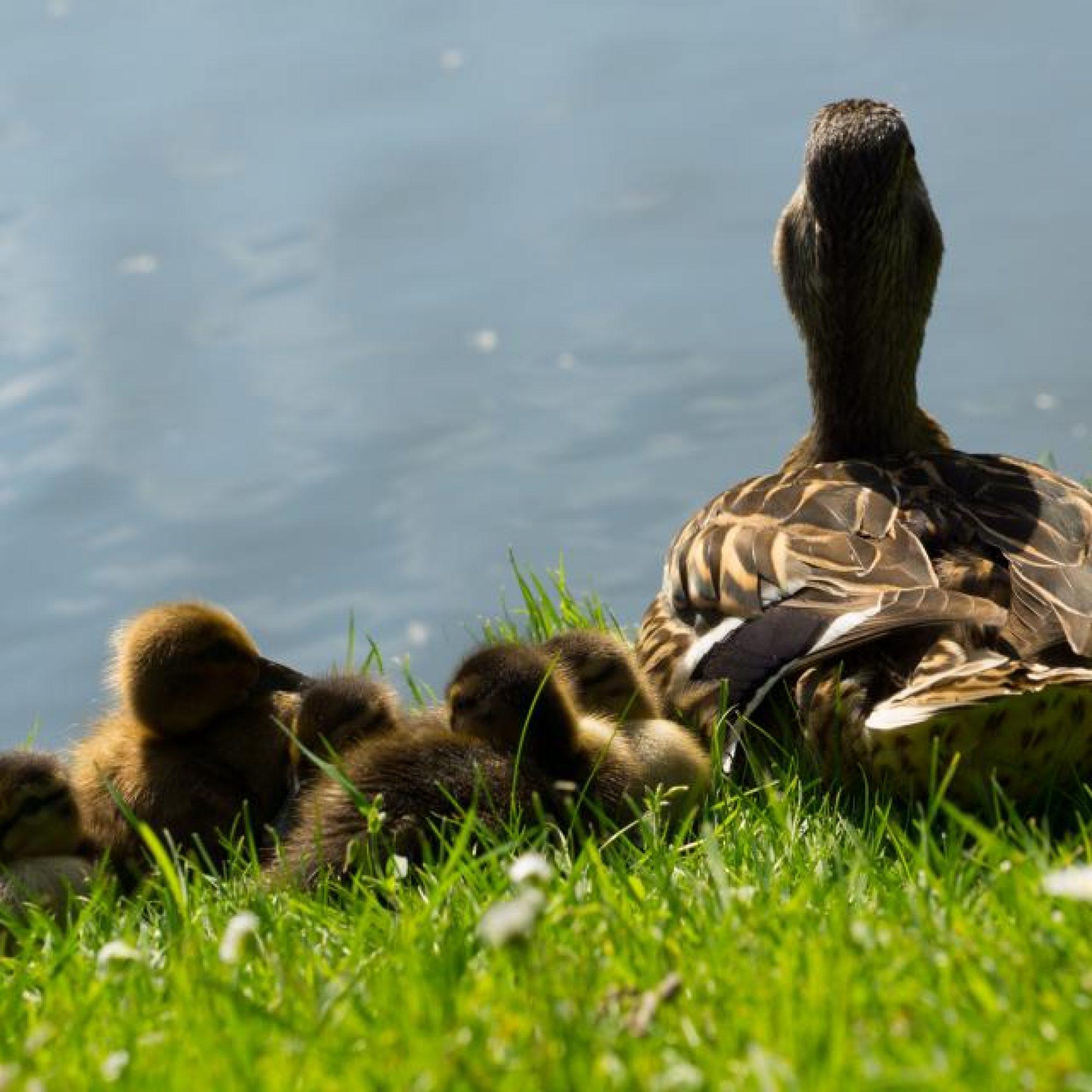 duck3 - Copy